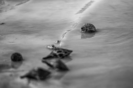 Wild Hermit Crab walking across the beach in Florida in Black and White.