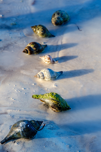 A row of Wild Hermit Crabs on the beach at the Florida Keys