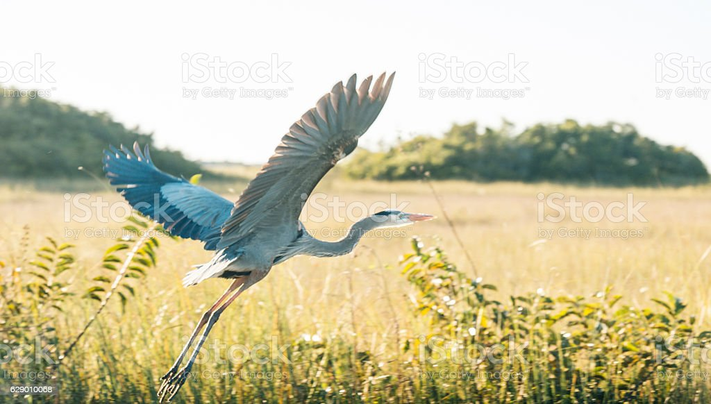 Wild Heron Bird Flying Over Everglades National Park Florida stock photo