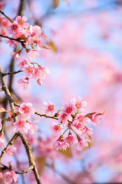 Wild Himalayan Cherry Blossoms on pink background stock photo