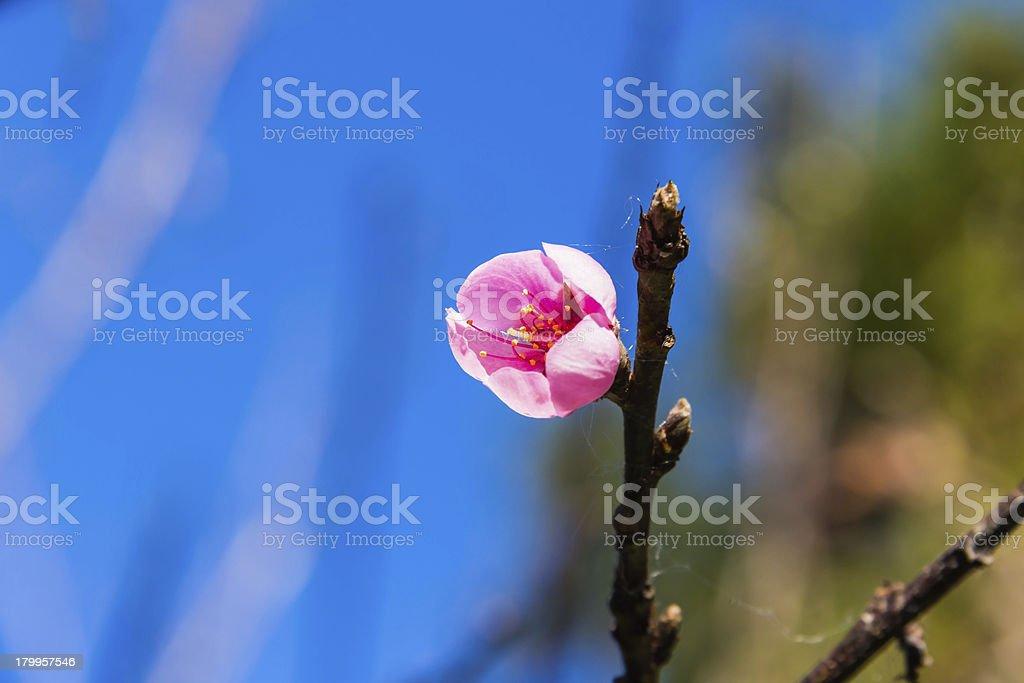 Wild Himalayan cherry (Prunus cerasoides) flower royalty-free stock photo