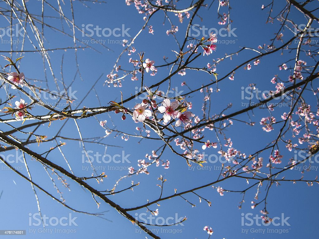 Wild Himalayan Cherry flower ,Thai  Sakura blossom royalty-free stock photo