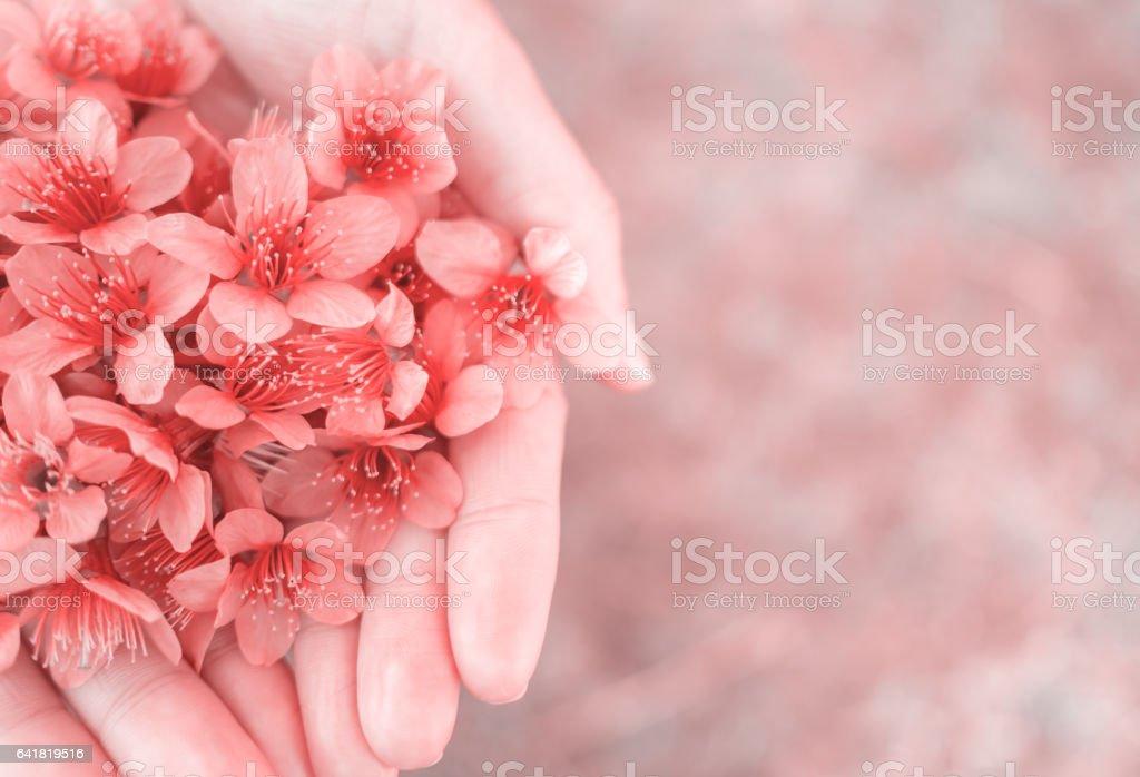 女性の手に野生のヒマラヤ桜の花 - アクションショットのロイヤリティフリーストックフォト
