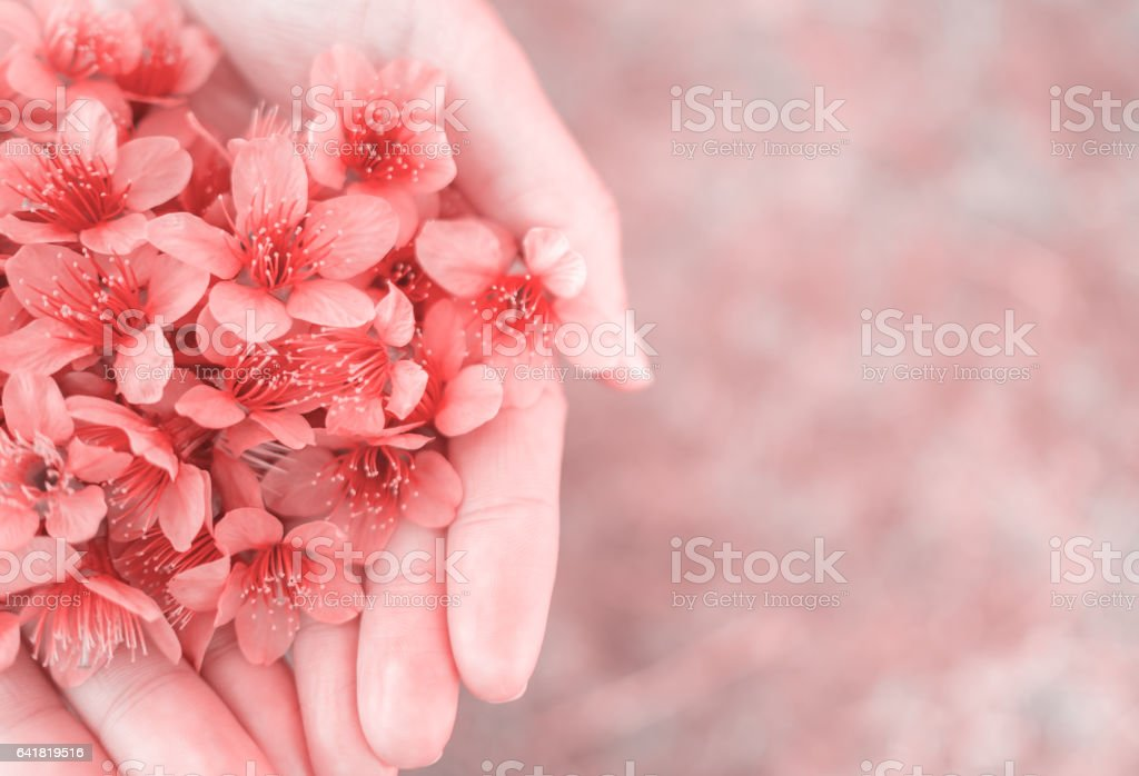 Wild Himalayan Cherry flowers on woman hands stock photo