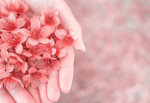 女性の手に野生のヒマラヤ桜の花 - アクションショットのストックフォトや画像を多数ご用意