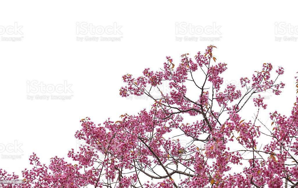 Wild Himalayan Cherry on white backgorund stock photo