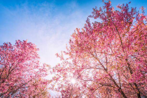 vilda himalayan cherry, prunus auktor - maj bildbanksfoton och bilder