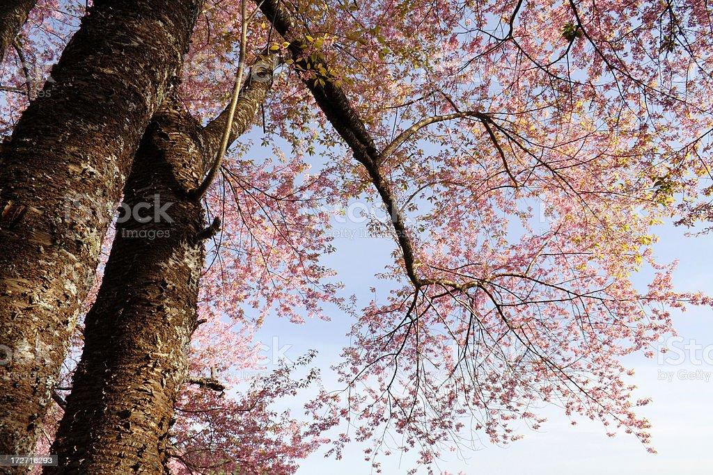 Wild Himalayan Cherry tree stock photo