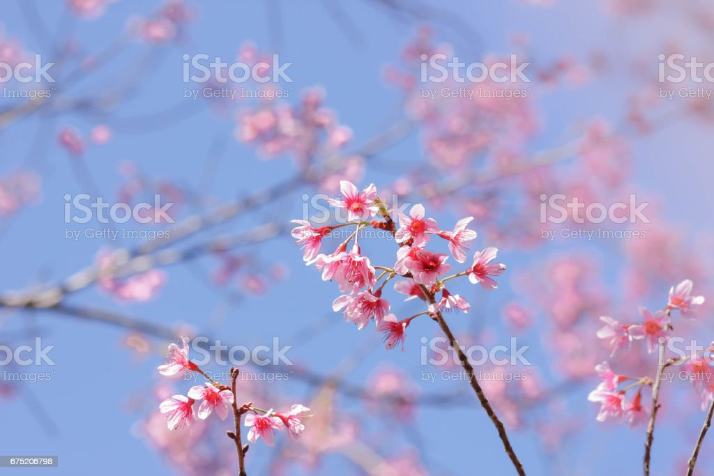 Wild Himalayan Cherry with blue sky royalty-free stock photo