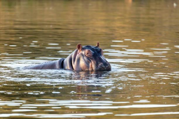 wild hippo, South Africa Safari wildlife stock photo