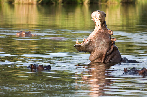 wild hippo yawning in the river, Kruger park