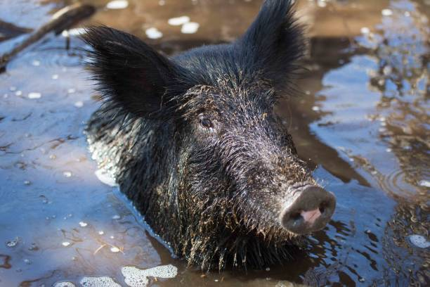 Wilder Schweinskopf über Wasser im Sumpf. – Foto