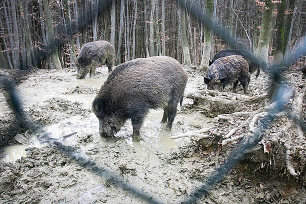 Wild hogs searching for food stock photo