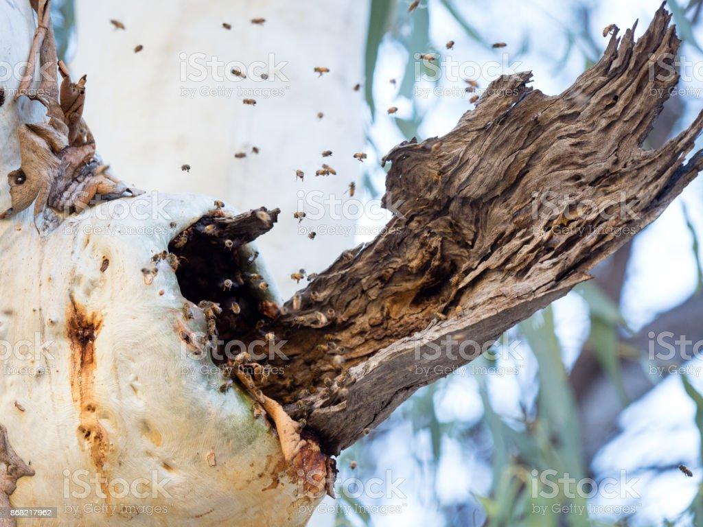 Wild Honey Bees stock photo