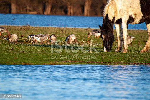 istock A wild horse and ducks grazing together 1272037263