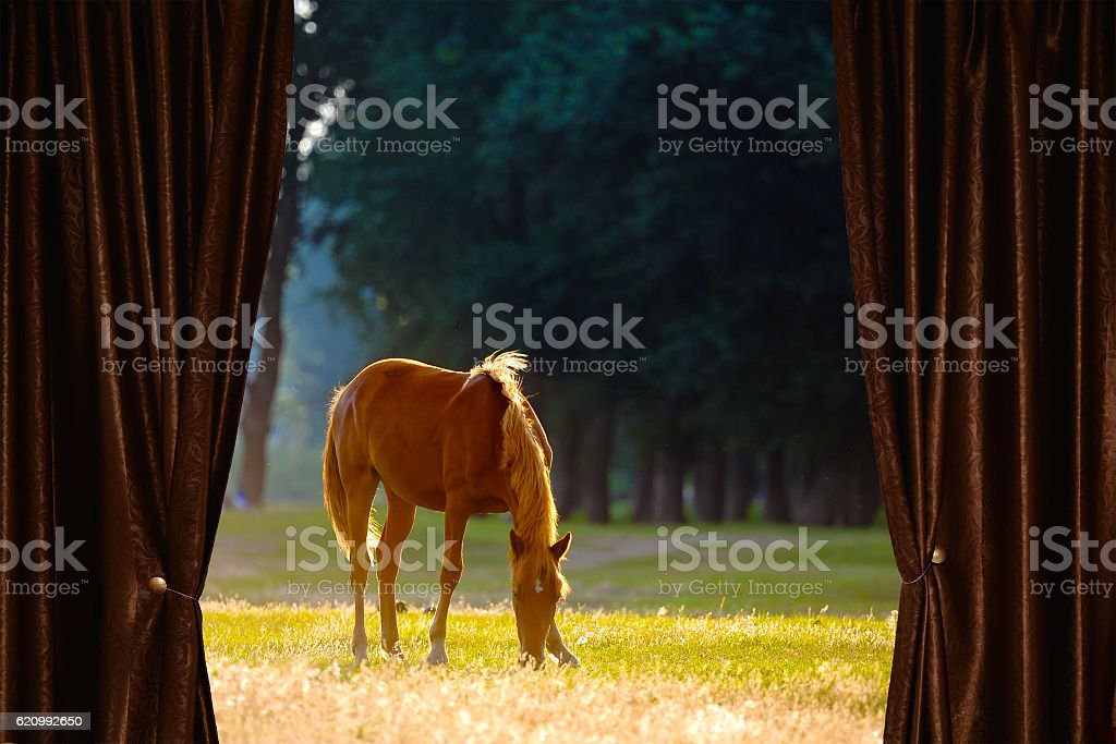 Wild horse behind curtain stock photo