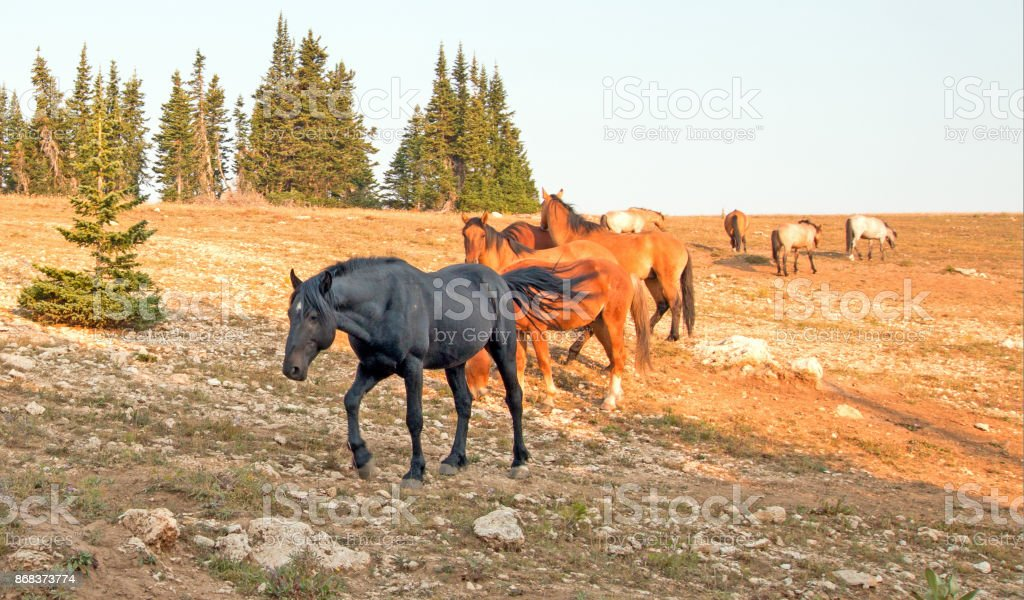 Wild Horse Black Stallion with his small herd in the Pryor Mountains Wild Horse Range in Montana United States stock photo
