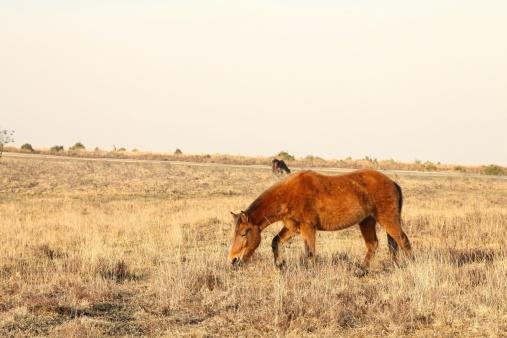 wild horse forages heathland evening new forest national park