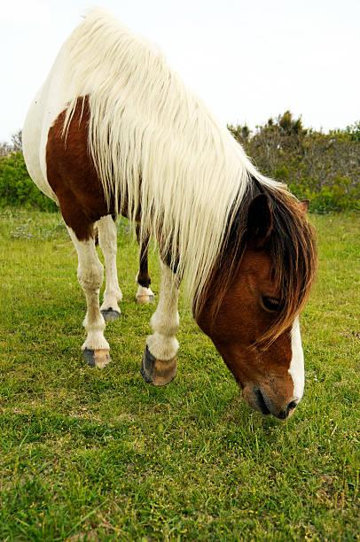 Wild Horse Grazing at Assateague Island, Maryland stock photo