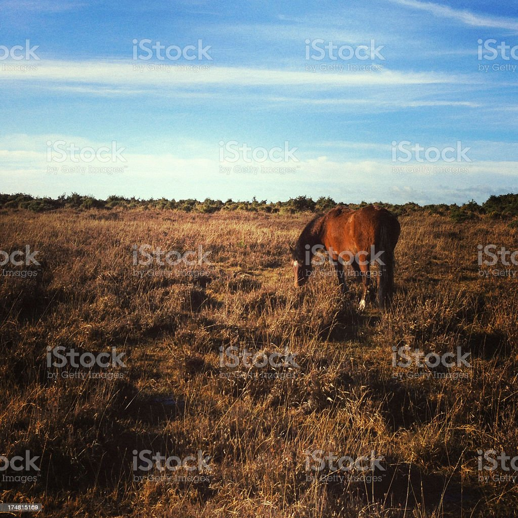 Wild horse grazing at The New Forest in Hampshire, England royalty-free stock photo