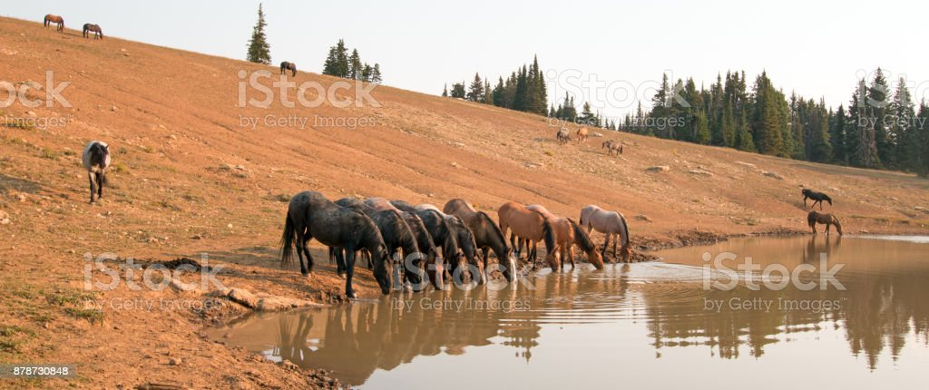 Wild horse herd at watering hole in the Pryor Mountains Wild Horse Range in the states of Wyoming and Montana United States stock photo