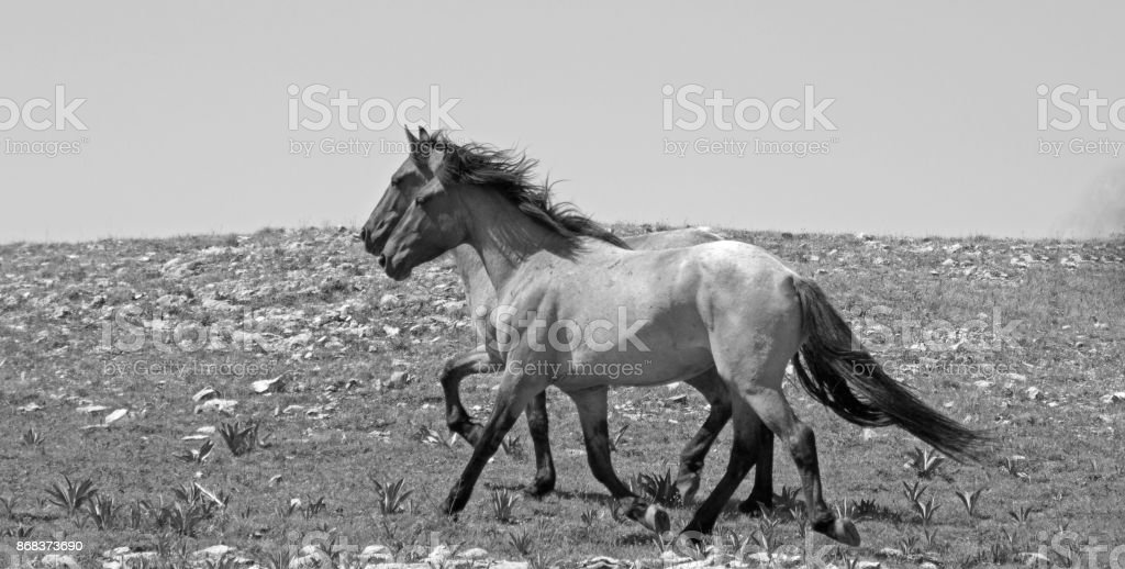 Wild Horse herd of mustangs running in the Pryor Mountains of Montana USA - black and white stock photo
