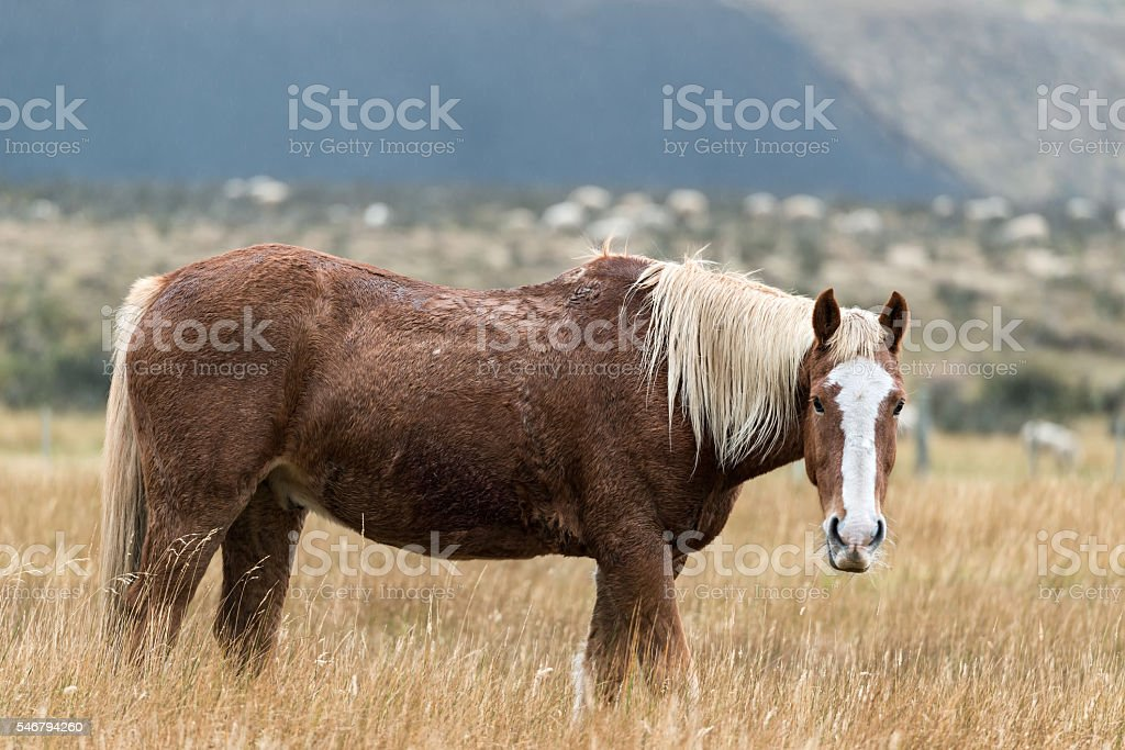 Wild horse in Patagonia,Chile. stock photo
