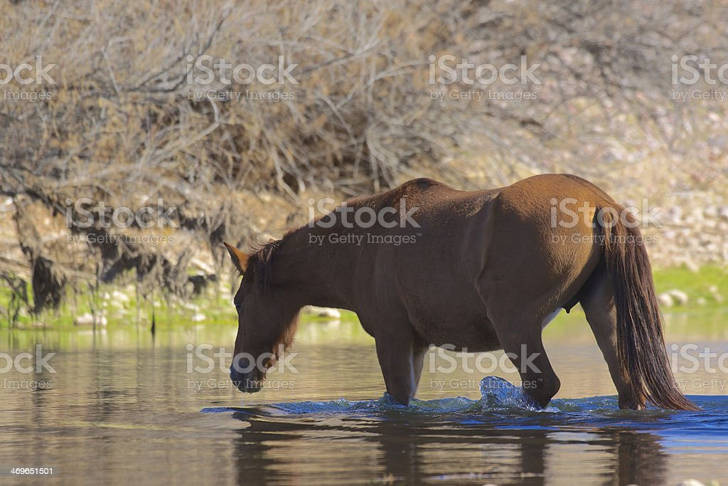 Wild Horse in River royalty-free stock photo