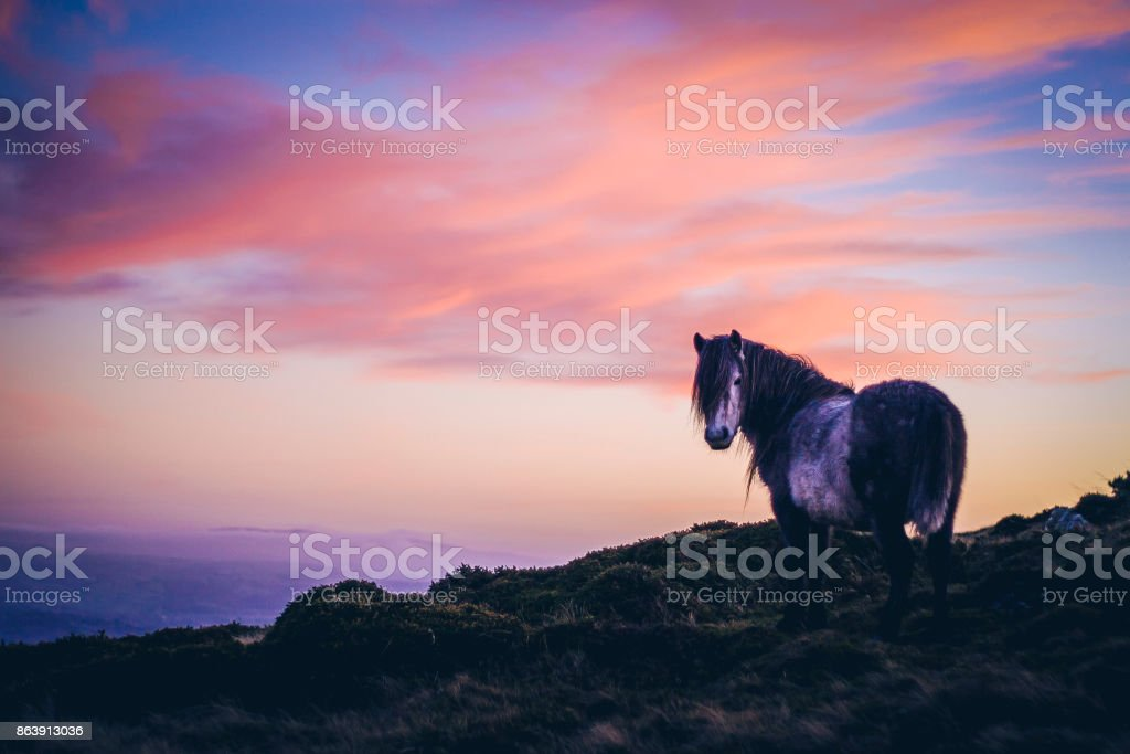 Wild Horse looking back at camera during sunset stock photo