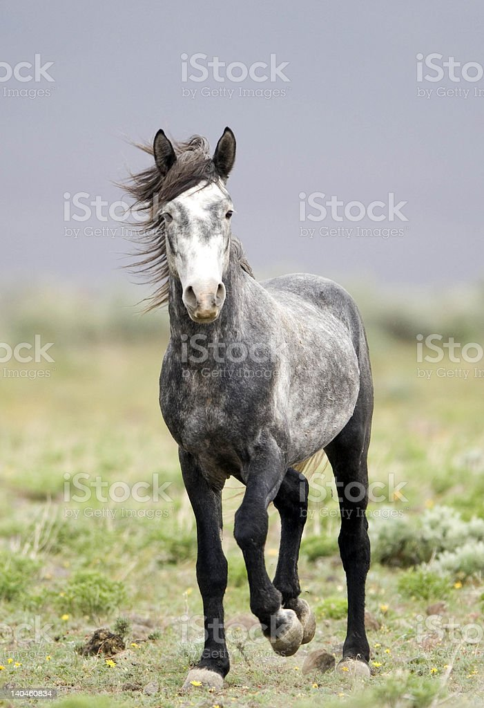 Wild horse looking straight ahead royalty-free stock photo