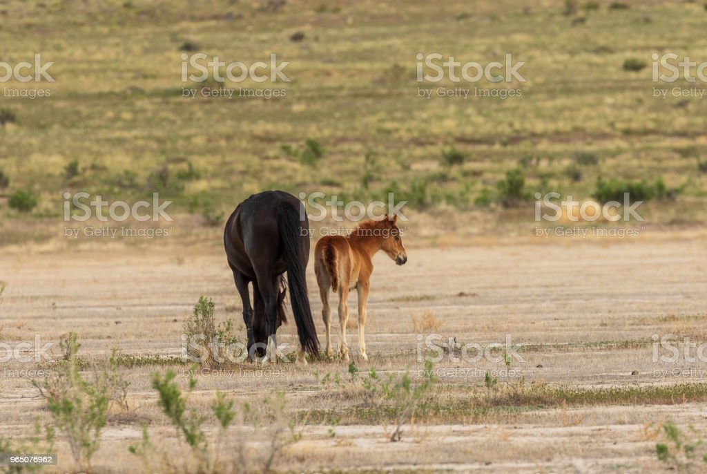Wild Horse Mare and Foal royalty-free stock photo