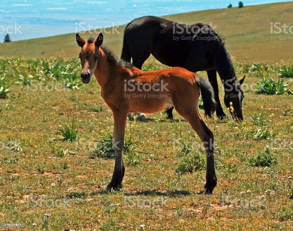 Wild Horse Mustang Mare Buckskin Baby Colt Foal Pryor Mountain Stock Photo Download Image Now Istock