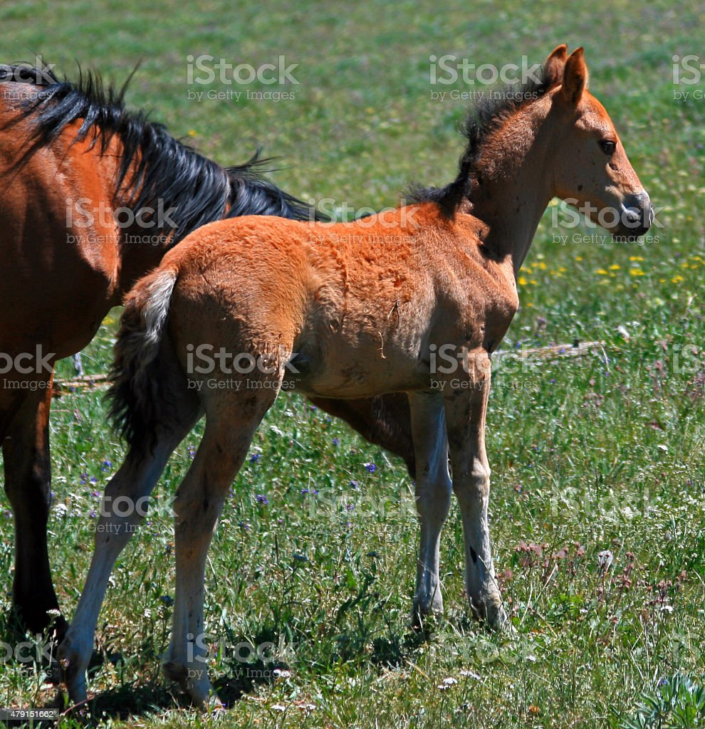 Wild Horse Mustang Mare With Buckskin Baby Colt Foal Montana Stock Photo Download Image Now Istock