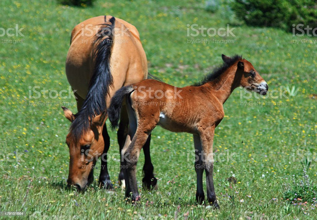 Wild Horse Mustang Mare With Buckskin Baby Colt Foal Stock Photo Download Image Now Istock