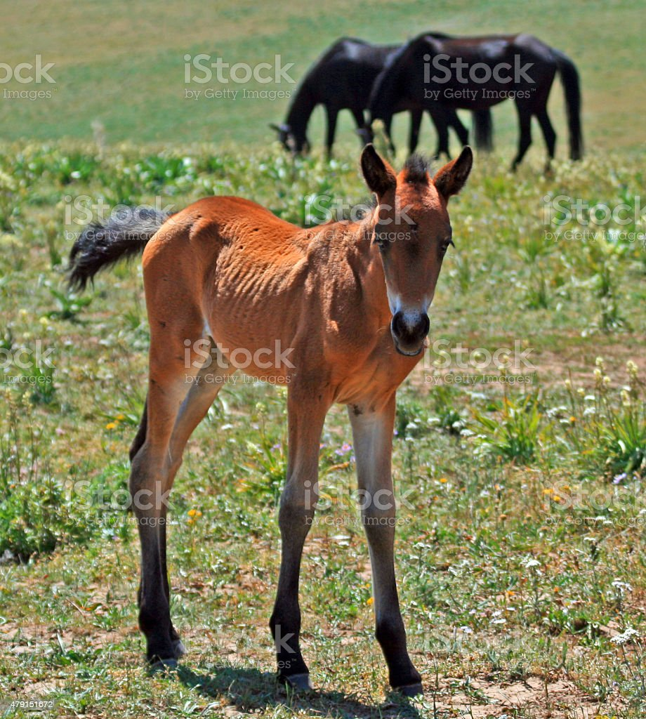 Wild Horse Mustang Mare With Buckskin Baby Foal Montana Usa Stock Photo Download Image Now Istock