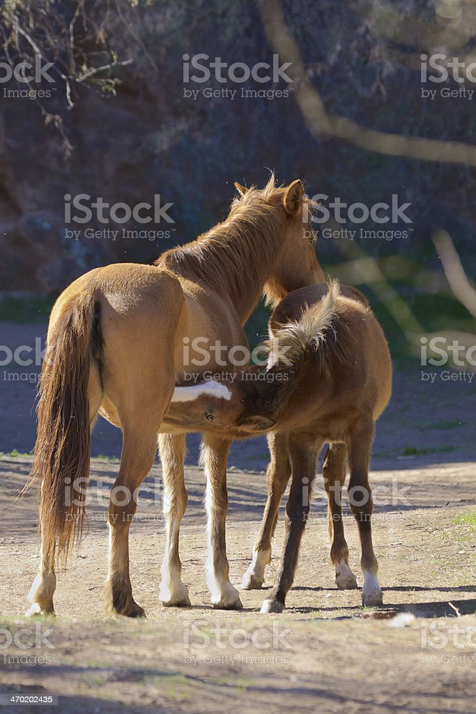 Wild Horse Nursing royalty-free stock photo