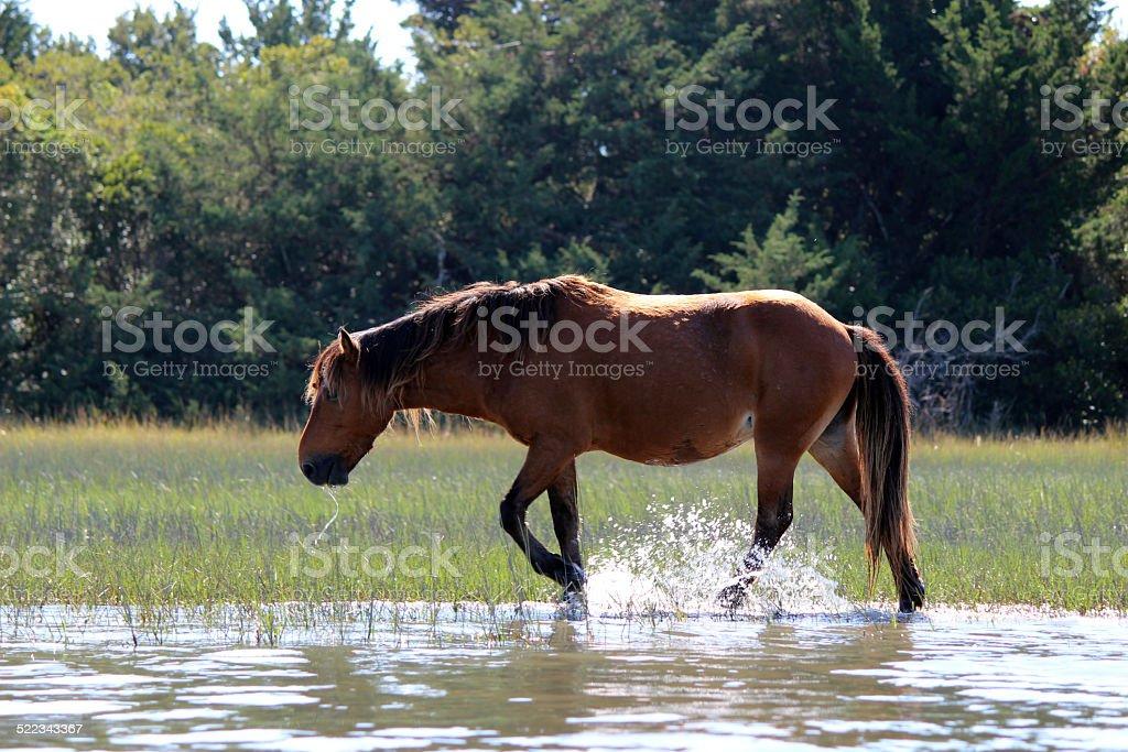 Wild Horse of NC Coast (bay color) stock photo