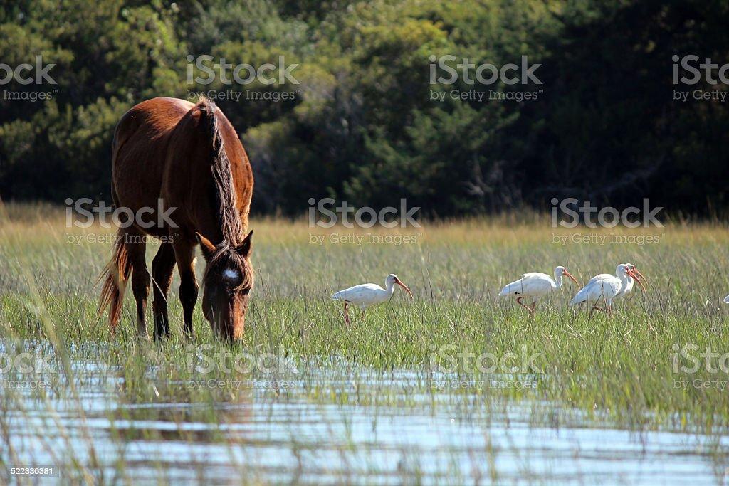 Wild Horse of North Carolina Coast with White Ibis stock photo