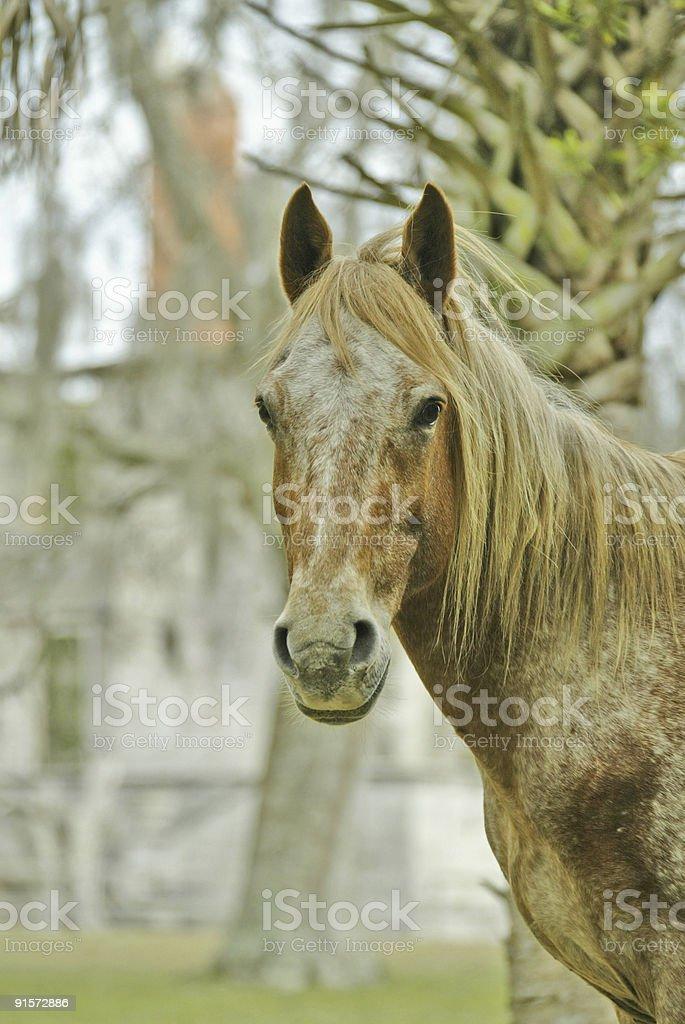 Wild Horse on Cumberland Island royalty-free stock photo