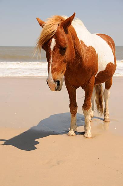 Wild Horse on the Beach at Assateague Island stock photo