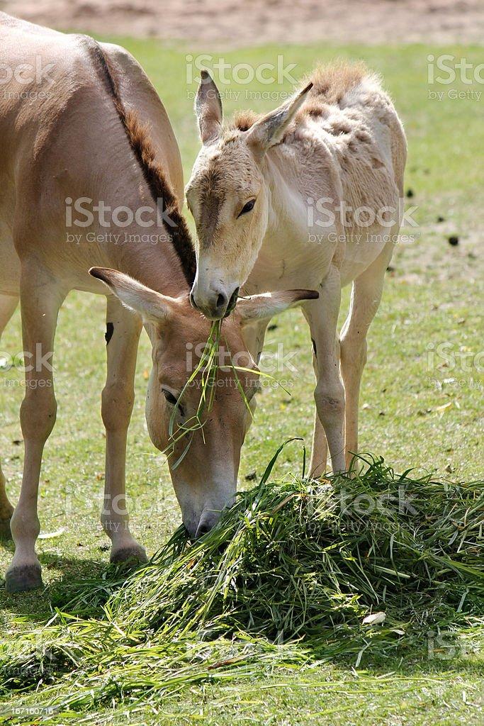 Wild Horse royalty-free stock photo