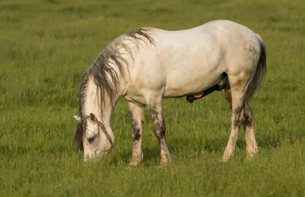 Wild Horse Stallions Fighting stock photo
