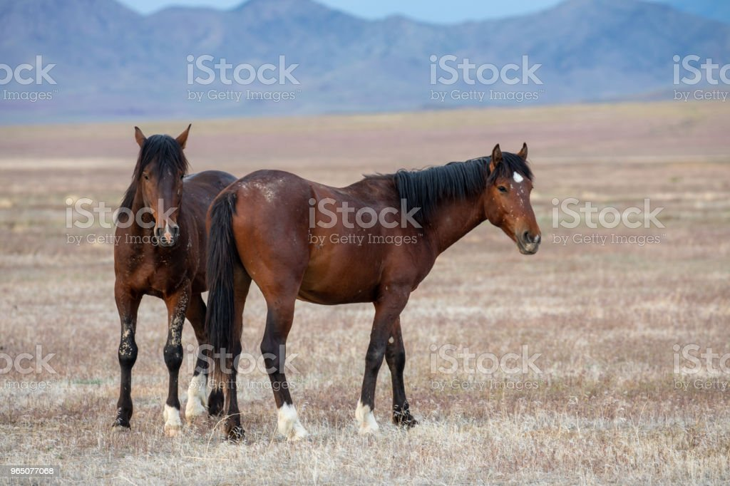 Wild Horse Stallions royalty-free stock photo