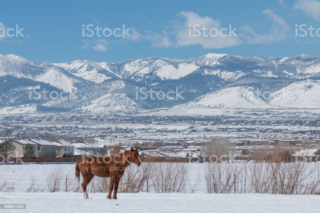 Wild Horse Standing In Snow Near A Neighborhood In Reno