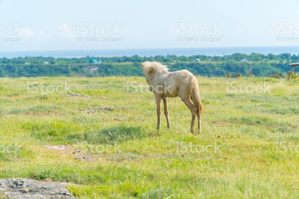 Wild Horses at Bukit Purukambera, Sumba, Indonesia royalty-free stock photo
