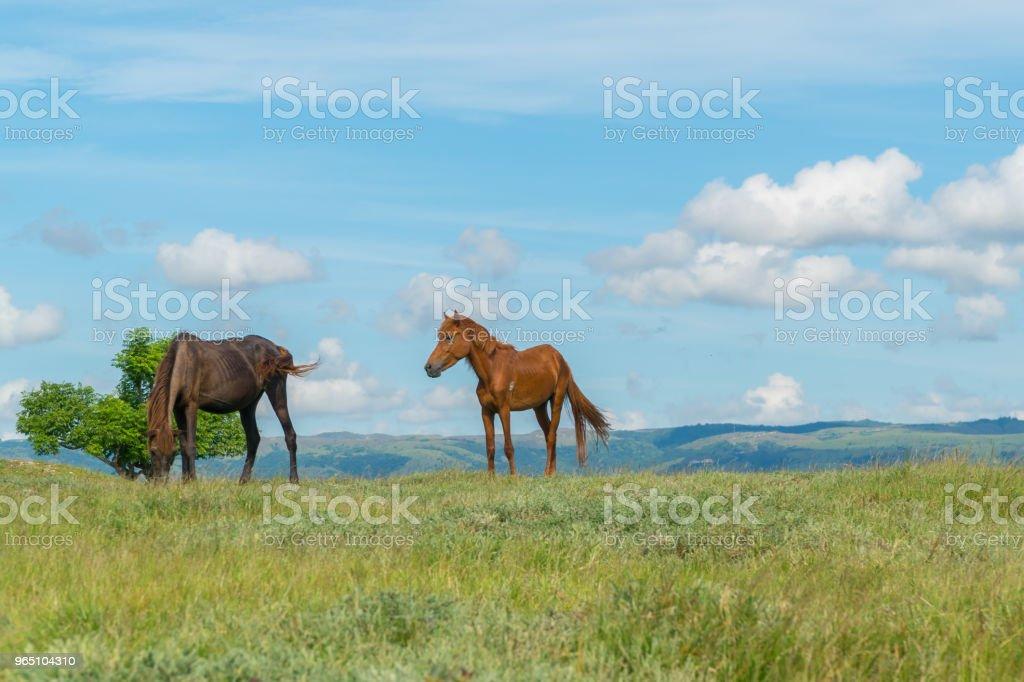 Wild Horses at Bukit Purukambera, Sumba, Indonesia royalty-free stock photo