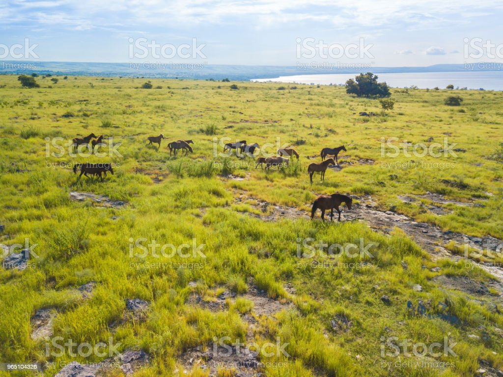 Wild Horses at Bukit Purukambera, Sumba, Indonesia zbiór zdjęć royalty-free