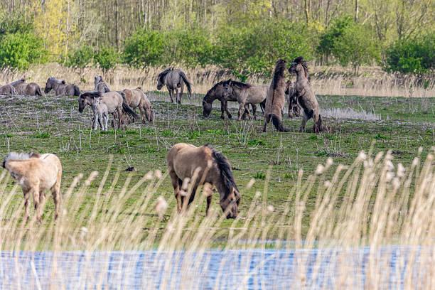 Wild Horses At Oostvaardersplassen In The Netherlands
