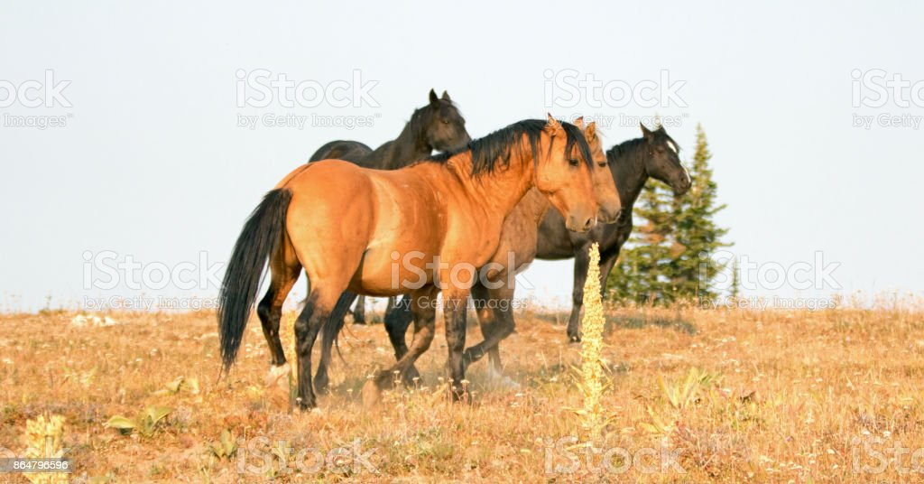 Wild Horses - Band and Bachelor stallions fighting in the morning in the Pryor Mountains Wild Horse Range in Montana United States stock photo