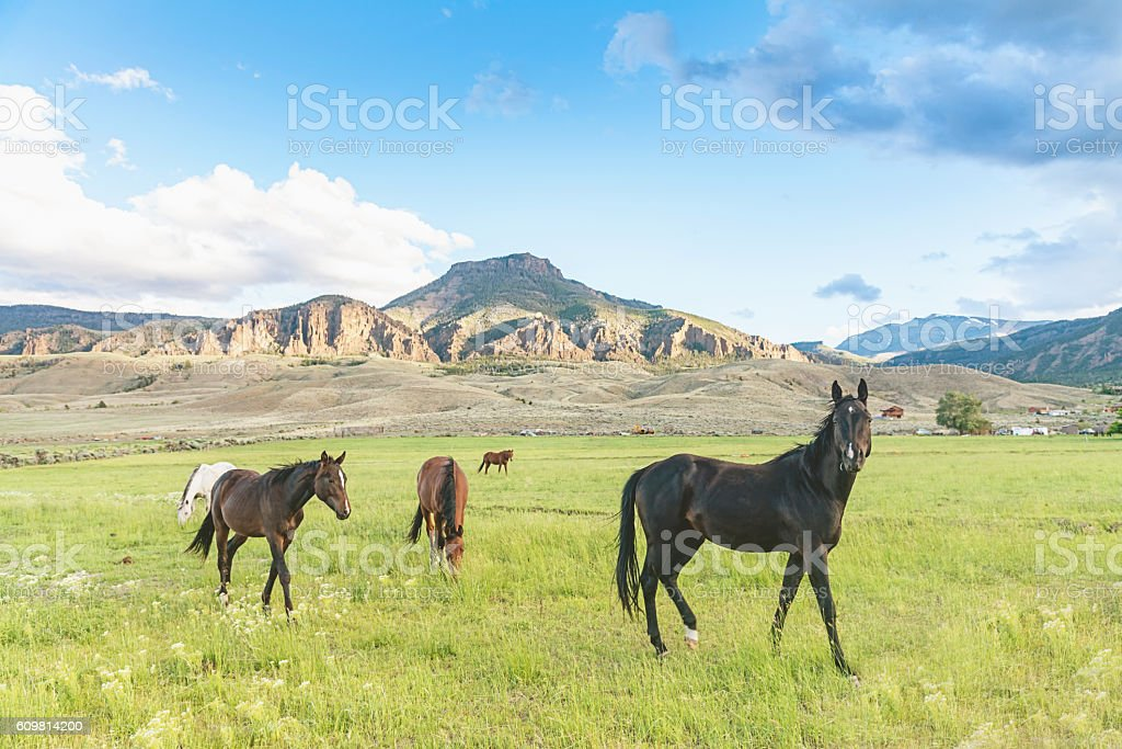 Wild Horses Cody Wyoming USA stock photo